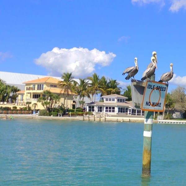 Pelikane auf der Intracoastal in Florida mit toller Natur und Himmel